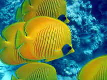 Butterfly fish. Chaetodon from the red sea in egypt royalty free stock photos