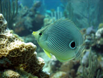 Butterfly Fish. A cute Four-Eyed Butterfly Fish among the bright corals of a Caribbean reef.  These little fish have a large false eye pattern on their tails to Stock Images