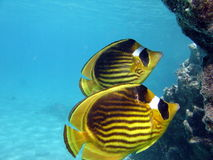 Butterfly fish Stock Photos