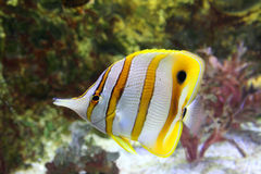 Butterfly-fish. Butterfly fish, exotical fish from the tropic Royalty Free Stock Image