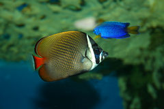 Butterfly-fish. In the tropical sea Royalty Free Stock Photography