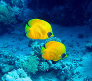 Butterfly fish. Masked butterfly fish (Chaetodon semilarvatus). Red Sea Royalty Free Stock Photos