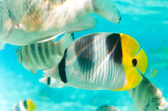 Butterfly fish. In Bora Bora Stock Photos