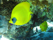 Butterfly fish Stock Image
