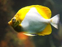 Butterfly Fish 2 Stock Photography