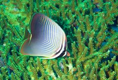 Butterfly fish. A beautiful baronessa butterfly fish swimming over a patch of green coral, underwater Stock Images