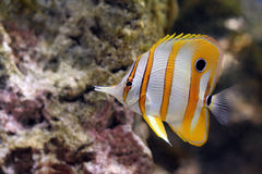 Butterfly Fish. Yellow and white striped tropical butterfly fish in a coral reef royalty free stock images