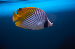 Butterfly fish. Royalty Free Stock Image