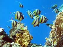 Butterfly fish Stock Photography