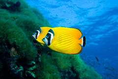 Butterfly fish. This bright beautiful fish live in gulf of Thailand. They alway come in with thair buddy Stock Images