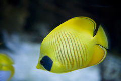 Butterfly-fish Stock Photography