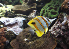 Butterfly fish. Beaked butterfly fish in front of coral Royalty Free Stock Image