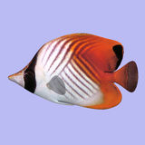 Butterfly Fish Stock Photo
