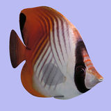 Butterfly Fish stock illustration