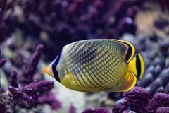 Butterfly fish is a bright sea fish that lives mainly on coral reefs stock photography