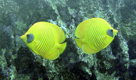 Butterfly Fish (Chaetodon semilarvatus) Royalty Free Stock Images