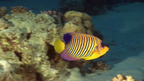 Butterfly fish in coral on background underwater landscape in Red sea. Swimming in world of colorful beautiful world of coral reefs and algae. Inhabitants in stock video footage