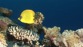 Butterfly fish in coral on background underwater landscape in Red sea. Swimming in world of colorful beautiful world of coral reefs and algae. Inhabitants in stock video