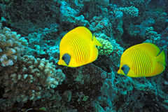 Butterfly Fish on the coral reef Royalty Free Stock Photo
