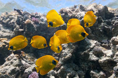 Butterfly Fish on the coral reef Stock Photos