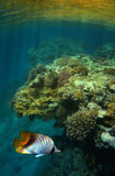 Butterfly fish and coral reef. Closeup of colorful tropical Butterfly fish swimming above coral reef Stock Photo