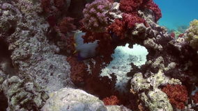 Butterfly fish on coral reef in search of food. Butterfly fish on tropical coral reef in search of food in lagun. Amazing, beautiful underwater marine sea world stock footage