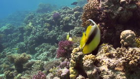 Butterfly fish on coral reef in search of food. Butterfly fish on tropical coral reef in search of food in lagun. Amazing, beautiful underwater marine sea world stock video
