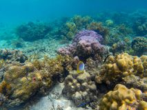 Butterfly fish in corals. Tropical seashore underwater photo. Marine nature. Warm sea shore. Coral reef on sea bottom