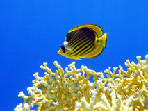 Butterfly fish and fire coral 1 Stock Photo