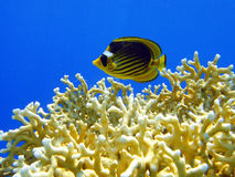 Butterfly fish and fire coral Stock Photo