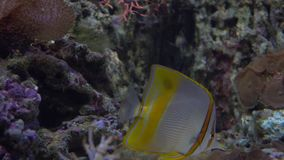 Butterfly fish floating under water against coral 4K video. Butterfly fish floating under water 4K video clip stock video footage
