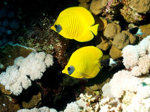 Butterfly fish half concealin (Chaetodon semilarva Stock Photo