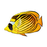 Butterfly fish Illustration Stock Images