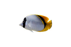 Butterfly fish isolated Royalty Free Stock Photos