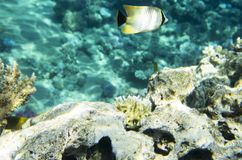 Butterfly fish near a coral Stock Image