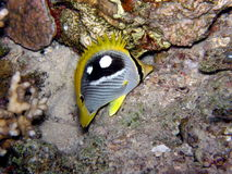Butterfly fish Red Sea Royalty Free Stock Image