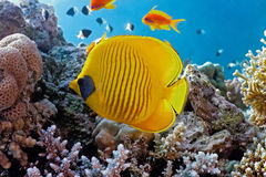 Butterfly fish on the reef Royalty Free Stock Images