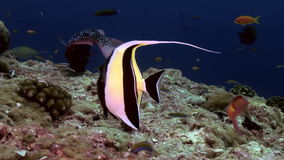 Butterfly fish on reef at dusk in search of food. stock video