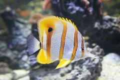 Butterfly fish in the sea Stock Image