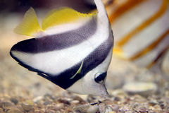 Butterfly Fish in Sea coral reef area. Royalty Free Stock Photography