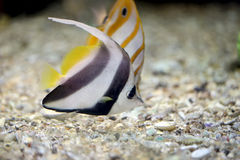 Butterfly Fish in Sea coral reef area. Stock Images
