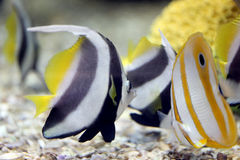 Butterfly Fish in Sea coral reef area. Stock Photo