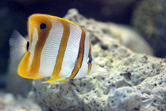 Butterfly Fish in Sea coral reef area. Royalty Free Stock Photos