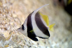 Butterfly Fish in Sea coral reef area. Stock Photography