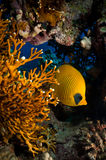 Butterfly fish (Semilarvatus chaetodon) Royalty Free Stock Images