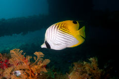 Butterfly fish. Stunning colourful marine life under a jetty Royalty Free Stock Images