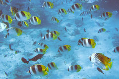Butterfly Fish Swarm. French Polynesia - Southern Pacific royalty free stock photos