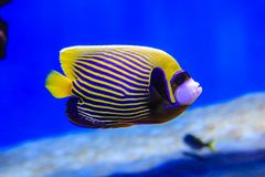 Butterfly fish swims in blue water on coral background stock images