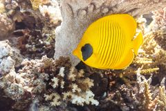 Butterfly fish under a coral umbrella. stock photo