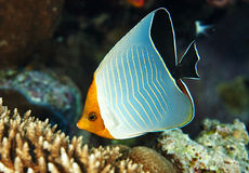 Butterfly fish Royalty Free Stock Photography